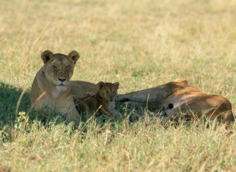 ライオンの家族 ケニア マサイマラ