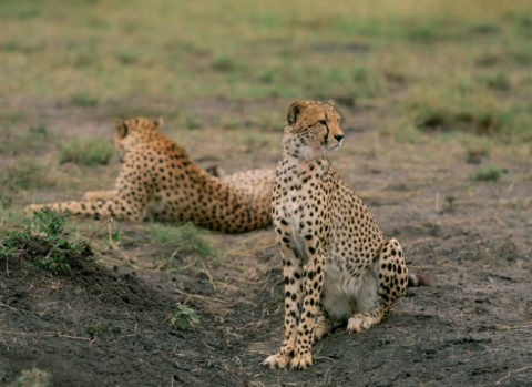 チーター ケニア マサイマラ