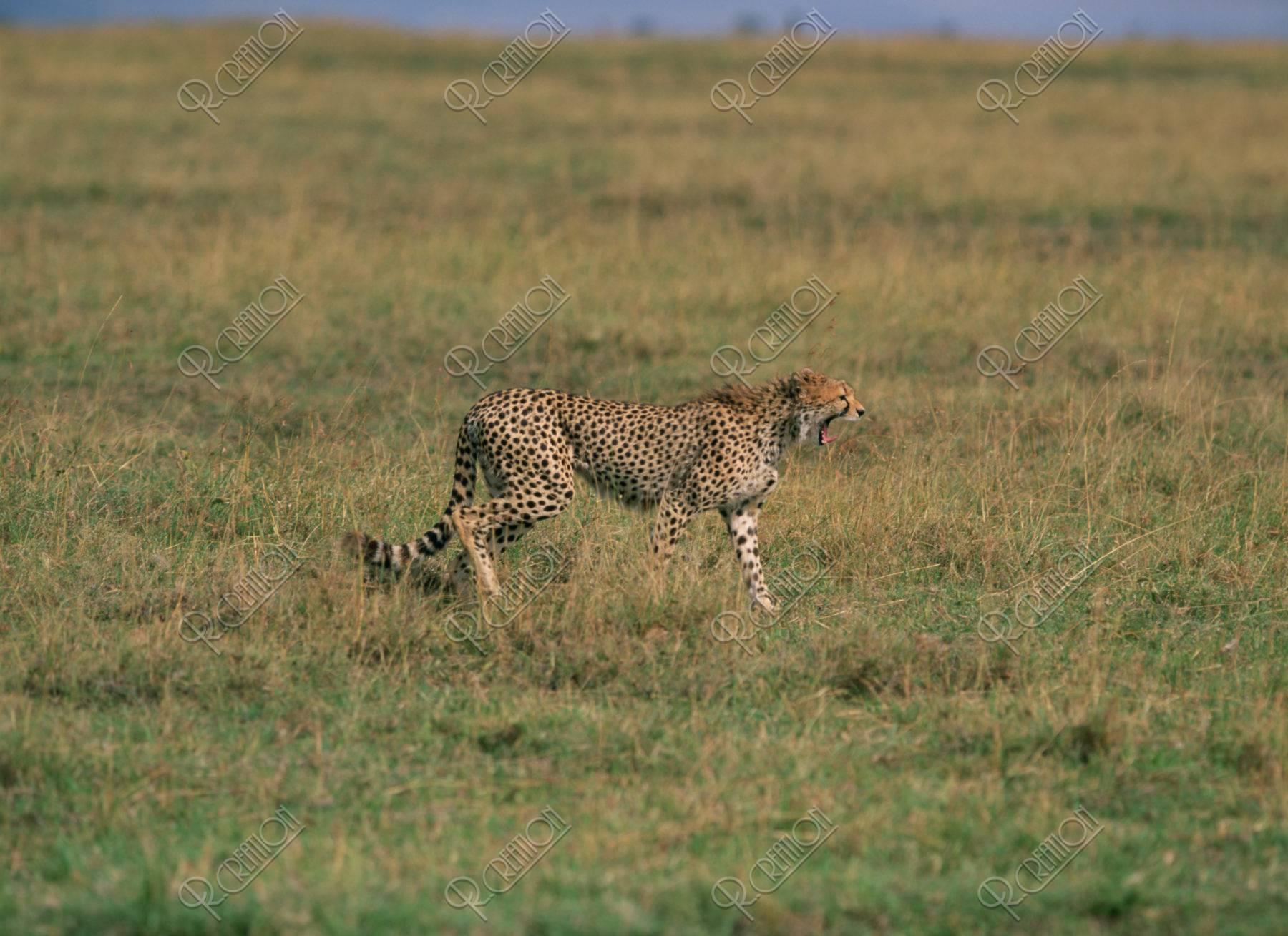 狩りをするチーター ケニア マサイマラ
