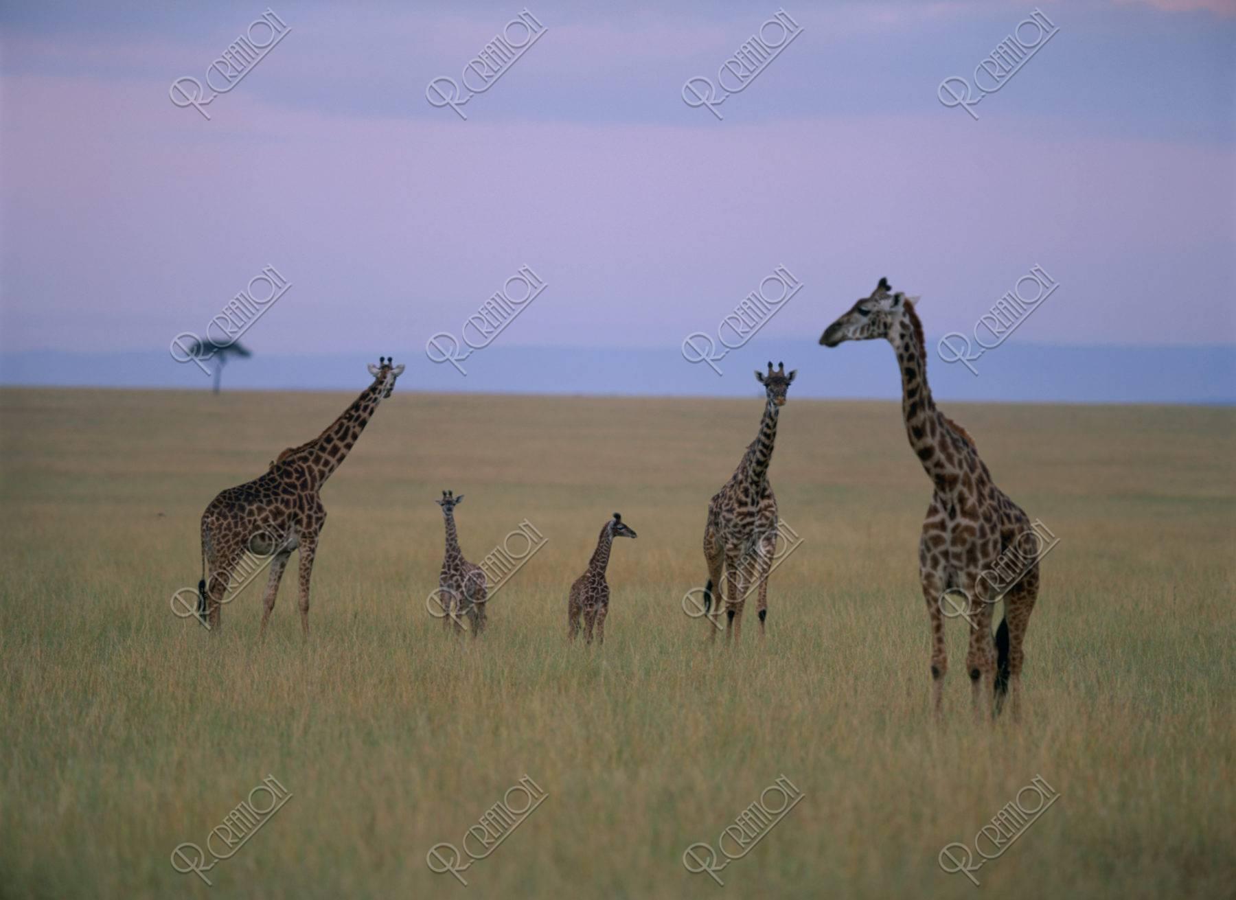 マサイキリンの親子 ケニア マサイマラ