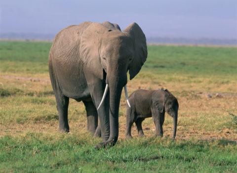象の親子 ケニア アンボセリ