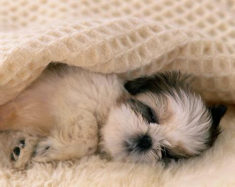 眠っている子犬(シーズー)