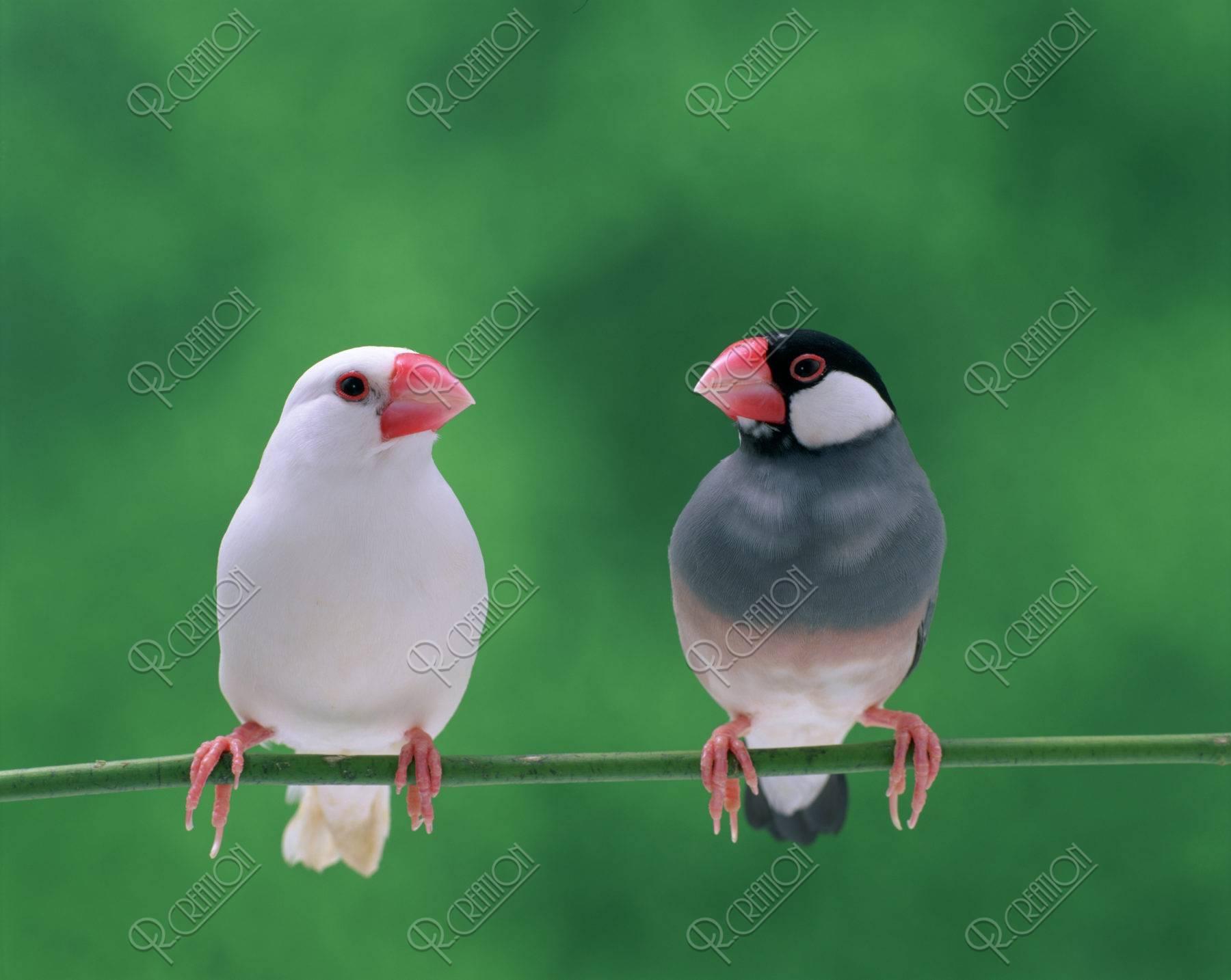 桜文鳥と白文鳥(二羽)