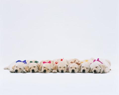 寝ている7匹のラプラドル犬