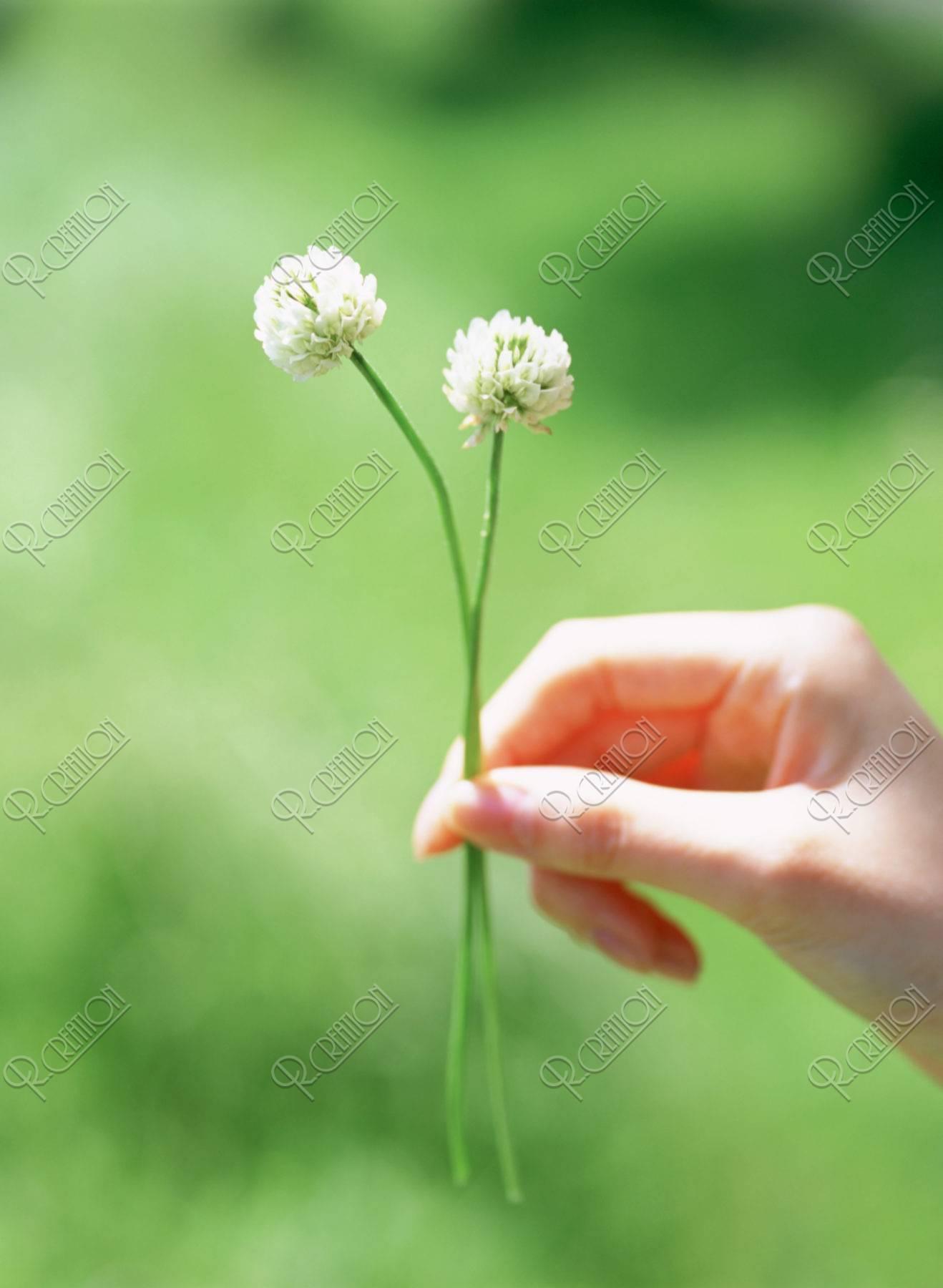 クローバーの花を持つ女性の手