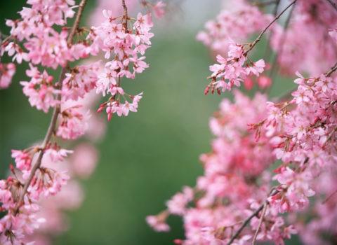 桜 紅枝垂 アップ 春
