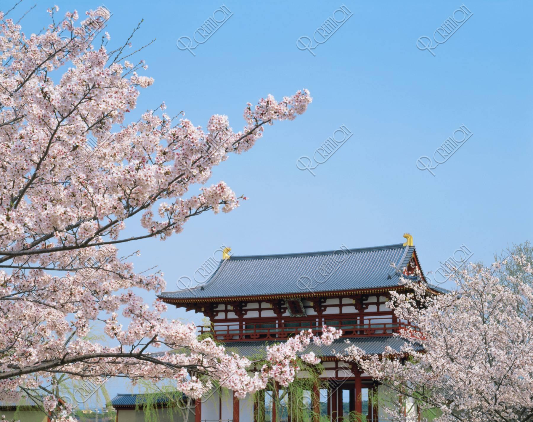 平城京跡 大極殿と桜 世界遺産