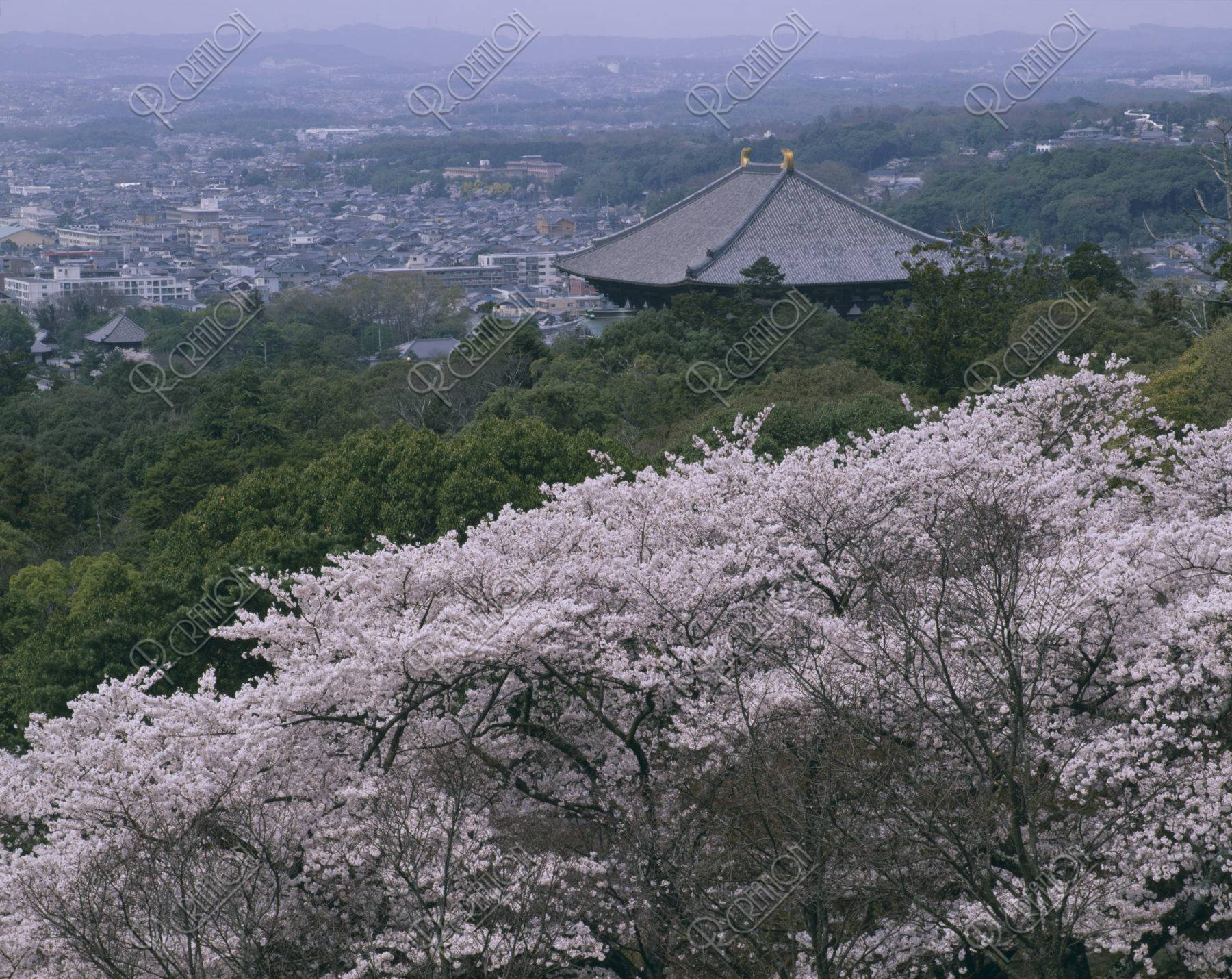 東大寺 大仏殿と桜 世界遺産