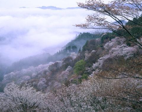 朝もやの奥千本からの桜 世界遺産