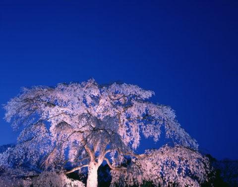 円山公園 夜桜
