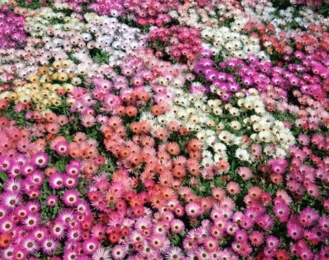 花の群生 デイジー