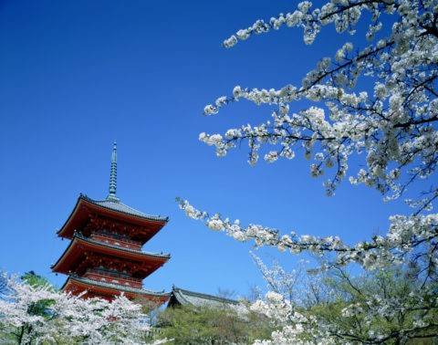桜と清水寺三重の塔