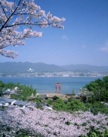 桜の厳島神社 大鳥居/世界遺産