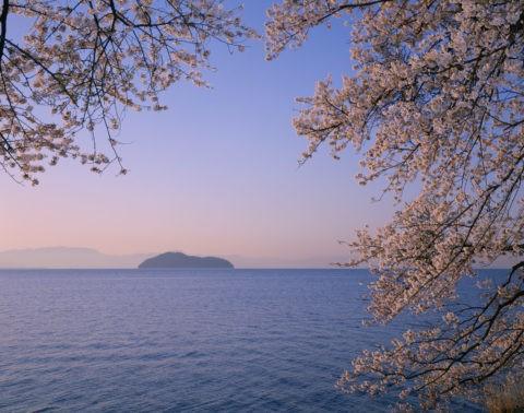 桜と海津大崎の朝