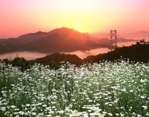 除虫菊と因島大橋(朝日)