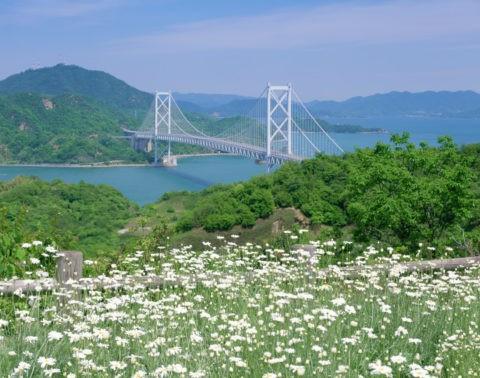 除虫菊と因島大橋