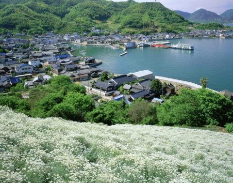 除虫菊と重井西港