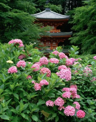 岩船寺 三重塔と紫陽花