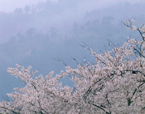 桜と煙雨の東山松林