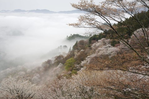 奥千本から 朝もやと吉野の桜 W