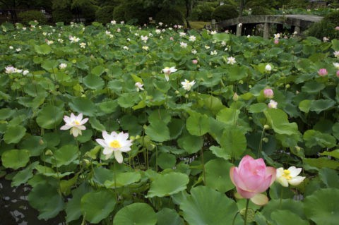 蓮の花 群生 天龍寺