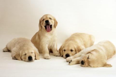 四匹のゴールデンレトリバーの子犬