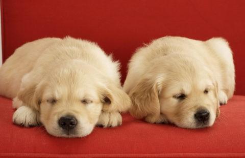 二匹のゴールデンレトリバーの子犬
