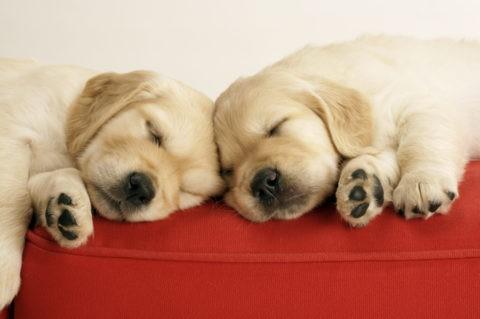 眠るゴールデンレトリバーの子犬