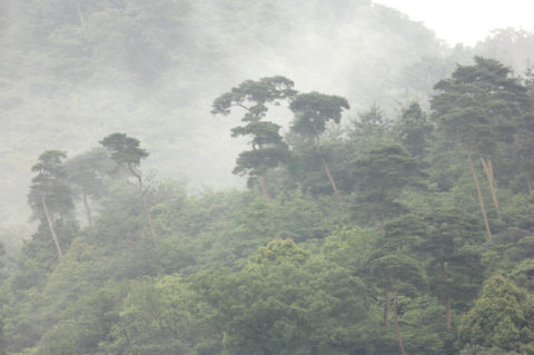 雨に霞む東山松林
