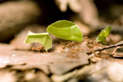 葉を運ぶハキリアリ