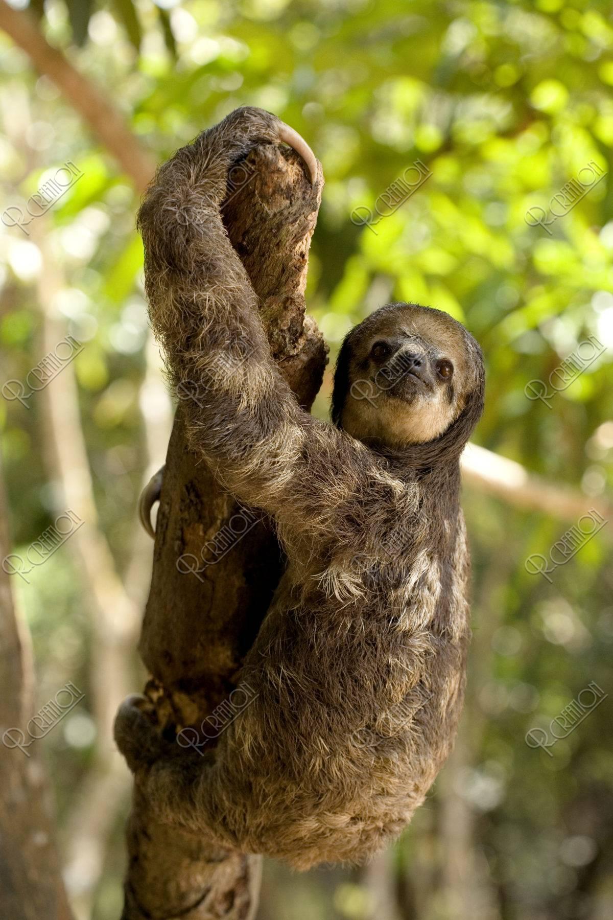 木に登るミツユビナマケモノ