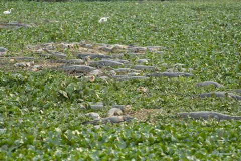 湿原のワニ(メガネカイマン)