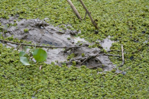 泥でカモフラージュするワニ(メガネカイマン)