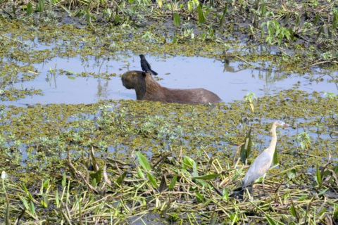 湿原のカピバラ