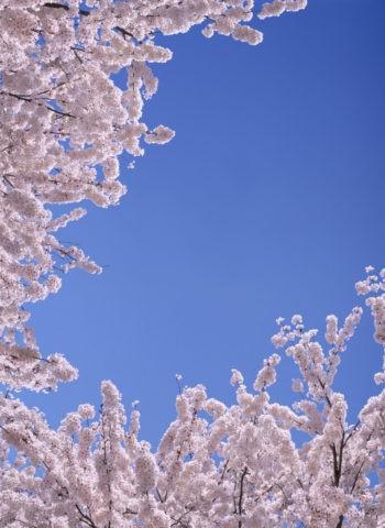 青空 桜 合成