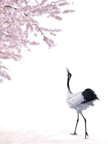 タンチョウヅル ツル 桜 合成
