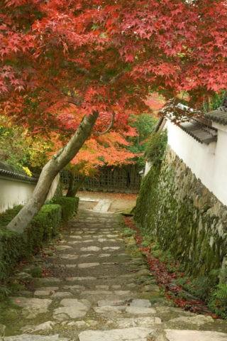 花の寺 勝持寺 モミジ 秋 白壁 土塀
