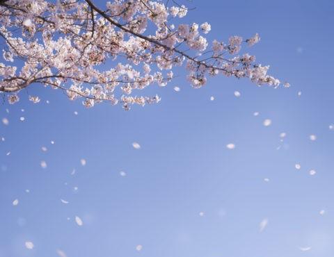 桜 青空 桜吹雪 花吹雪 合成 散る 春 入学