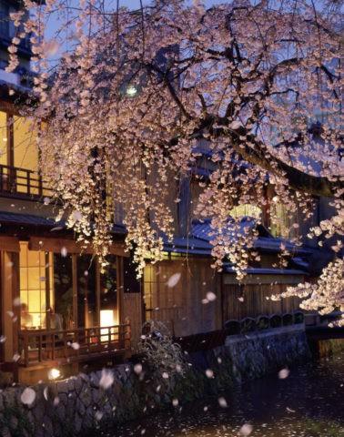 桜 祇園 夕景 桜吹雪 花吹雪 散る 春 合成