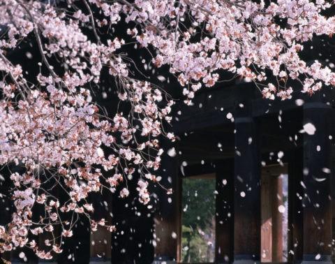 南禅寺 三門 桜 桜吹雪 花吹雪 散る 春 合成