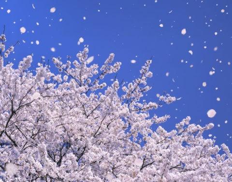 桜 桜吹雪 花吹雪 散る 春 青空 入学 合成