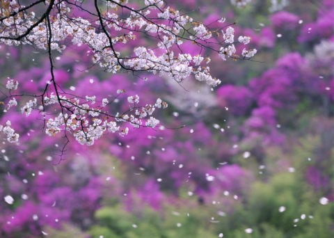 桜 桜吹雪 花吹雪 散る 春 高雄 山ツツジ 合成