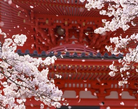 桜 桜吹雪 花吹雪 散る 春 大覚寺 多宝塔 合成