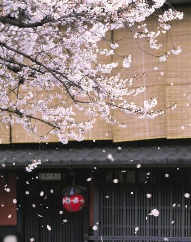 桜 桜吹雪 花吹雪 散る 春 祇園 合成