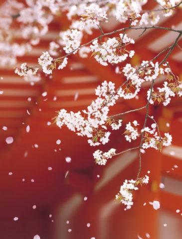 桜 桜吹雪 花吹雪 散る 春 平安神宮 合成