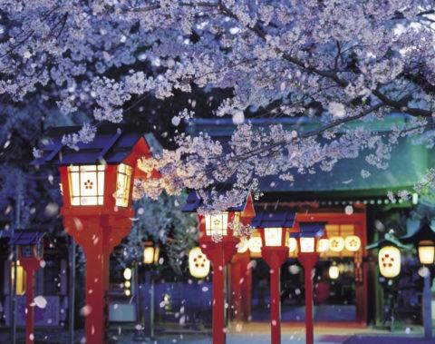 桜 桜吹雪 花吹雪 散る 春 平野神社 夜桜 合成