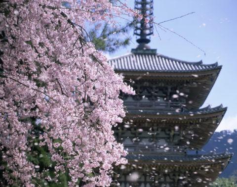桜 桜吹雪 花吹雪 散る 醍醐寺 五重塔 合成 世界遺産