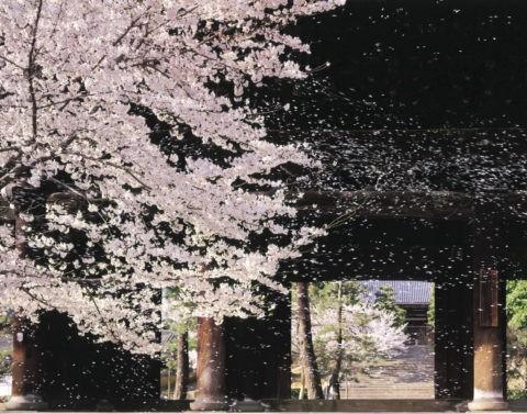 桜 桜吹雪 花吹雪 散る 春 金戒光明寺 三門 合成