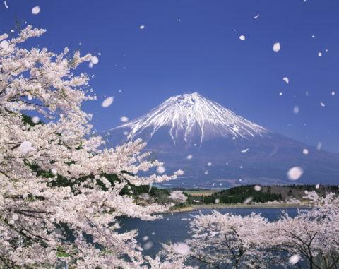 桜 桜吹雪 花吹雪 散る 富士山 田貫湖 合成