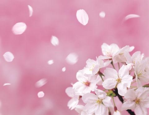 桜 桜吹雪 花吹雪 散る アップ 春 合成 ピンク